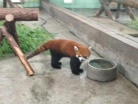 Cute Red Panda!