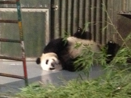 The adorable panda bear