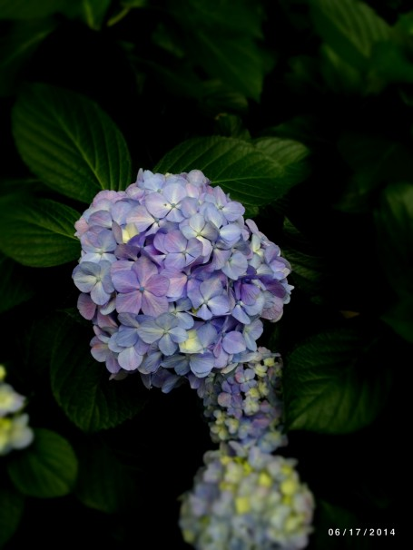Hydrangea in Imperial Palace