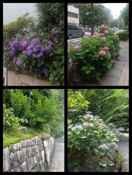 Hydrangea in Yokohama and Kyoto