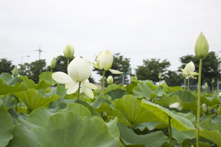 Came across a pond of lotus flowers on the way to 안압지!