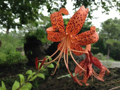Tiger Lily- a native flower to northern and eastern Asia.