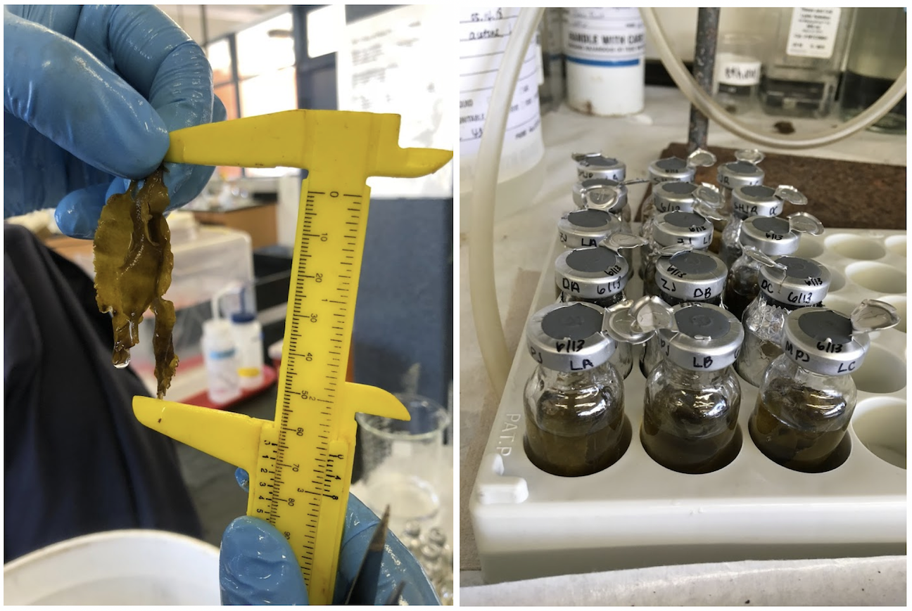 Left: Measuring one of our samples of Eisenia arborea; Right: Aliquoted samples.