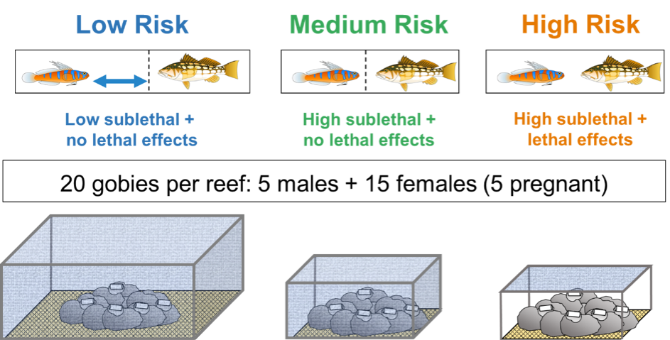 Scematic of the reef and caging treatments. Blue shading on caging indicates mesh netting to exclude predators, and white cylinders on each reef represent the artificial goby nests. Cartoons above show the physical separation between prey (gobies) and predators (kelp bass).