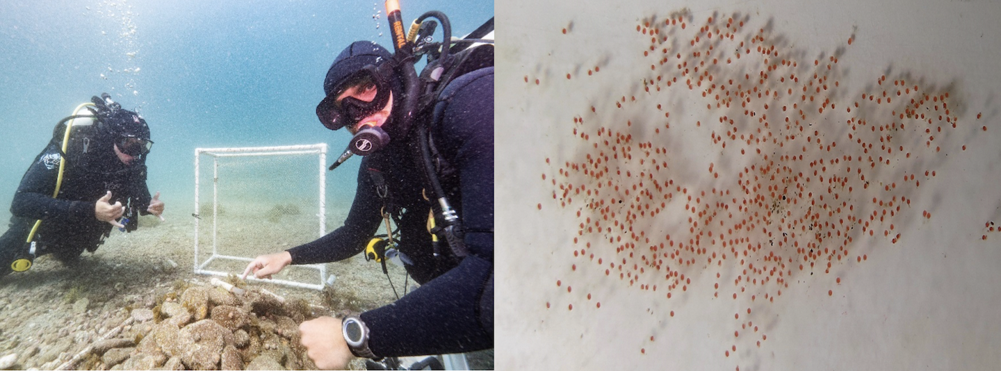 Me pointing to a nest with eggs present, and dive buddy, Hunter, throwing up the double shakas in elation (left; photo credit: Maurice Roper). A typical goby nest photographed underwater; each circle is an individual egg (right).