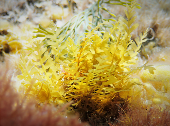 Recruit Sargassum horneri (center) surrounded by other algae.