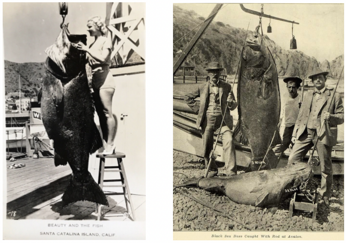 These are pictures from the 1930's showing Giant Sea Bass caught off of Santa Catalina coast, from the SCIF archives. https://www.islapedia.com/index.php?title=Black_Sea_Bass