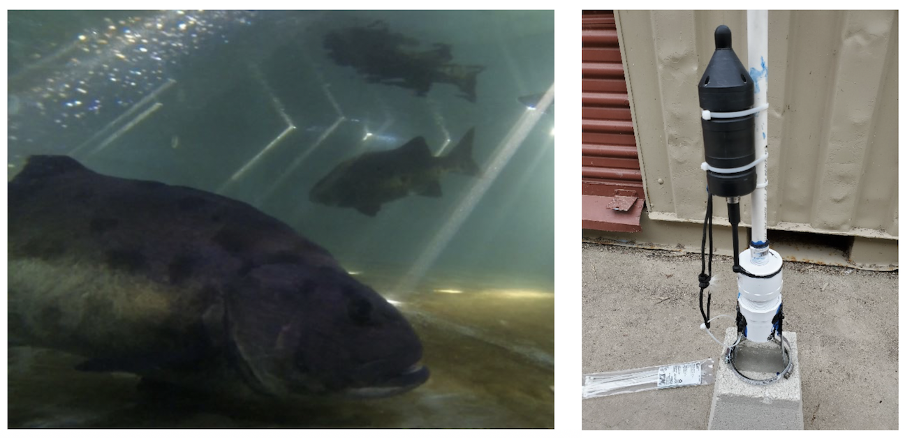 On the left is Giant Sea Bass in our tank and the right is the rig with the hydrophone.