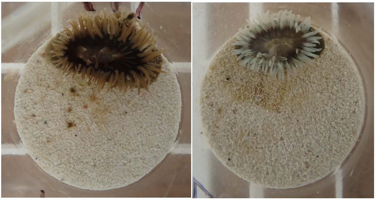Photo of a healthy anemone with its symbionts (left) and a bleached anemone (right) after heat stress.
